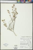 Calamintha ashei image