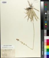 Aletris bracteata image