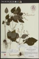 Image of Coelorachis tuberculosa