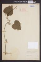 Cocculus carolinus image