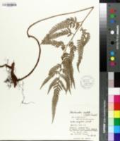 Image of Arachniodes aristata