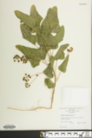 Smilax pseudo-china image