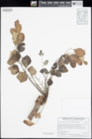 Image of Pseudosmodingium perniciosum