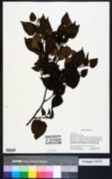 Image of Betula chinensis