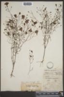 Agalinis setacea image