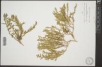 Chenopodium chenopodioides image