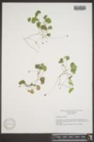 Cymbalaria muralis image