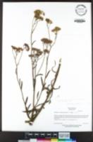 Senecio linearifolius image