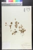 Marsilea macropoda image