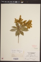 Pieris japonica image