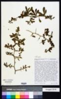Image of Lycium ferocissimum