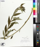 Amsonia salicifolia image