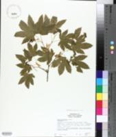 Acer circinatum image