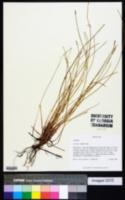 Eleocharis elongata image