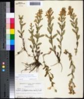 Image of Scutellaria multiglandulosa