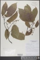 Image of Pentaplaris doroteae