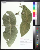 Image of Silphium connatum