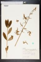 Lilium martagon image