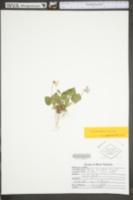 Image of Viola cordifolia