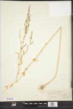 Chenopodium foggii image