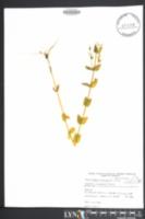 Image of Sabatia difformis