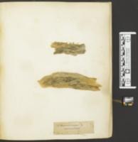Marasmiellus vaillantii image