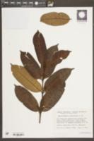 Image of Mascarenhasia arborescens