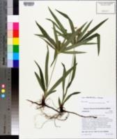 Image of Cyperus albostriatus