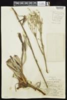 Eriogonum longifolium image