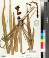 Image of Yucca freemanii