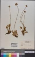 Image of Brunonia australis
