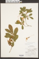 Image of Rhododendron arboreum
