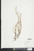 Myosotis micrantha image