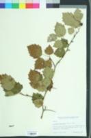 Image of Crataegus flabellata