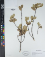 Quercus dumosa image