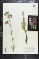 Asclepias connivens image
