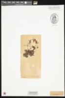 Image of Hymenophyllum badium