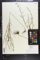 Image of Inula spiraeifolia