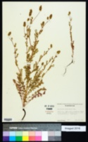 Poteridium occidentale image