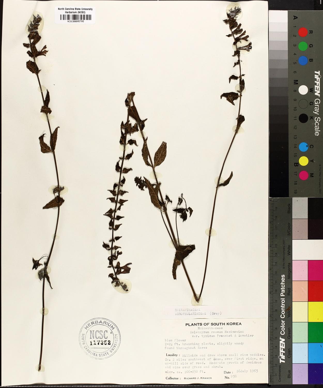 Melampyrum roseum image