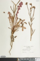 Armeria plantaginea image