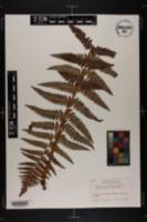 Image of Dryopteris x slossoniae