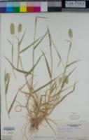 Phalaris minor image
