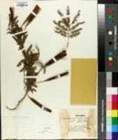 Image of Calliandra portoricensis