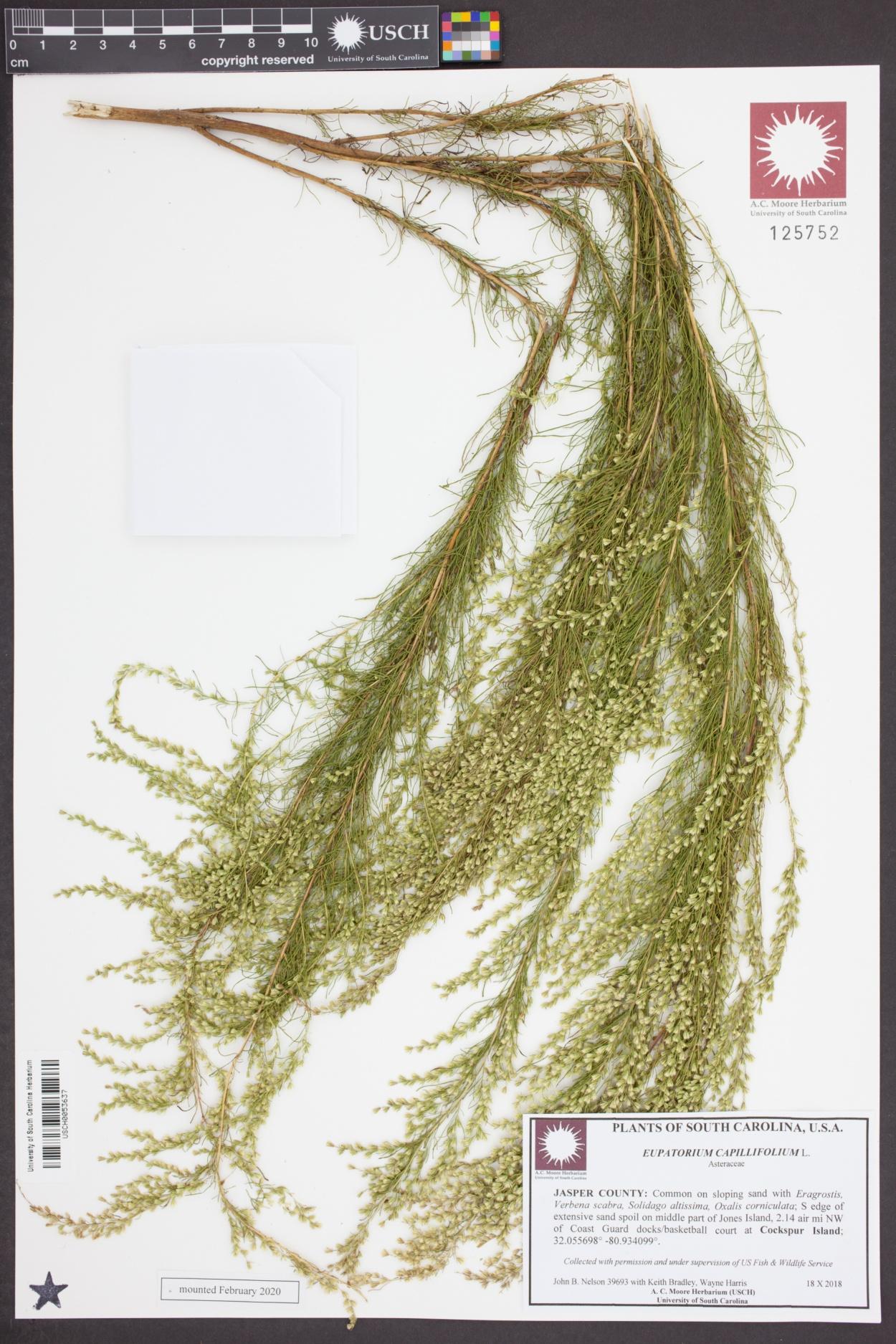 Eupatorium image