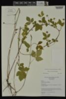 Image of Rubus leviculus