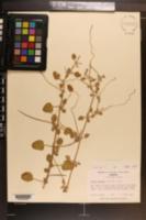 Okenia hypogaea image