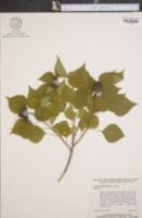Image of Sapium sebiferum