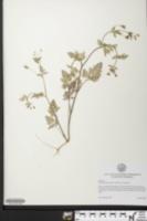Chaerophyllum tainturieri var. tainturieri image