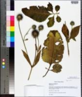 Image of Dipsacus strigosus